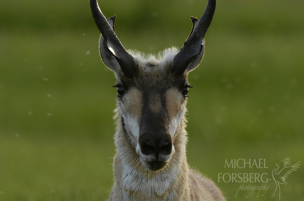 A Pronghorn buck surrounded by mosquitoes seemingly poses for his portrait. Bowdoin National Wildlife Refuge, Montana.