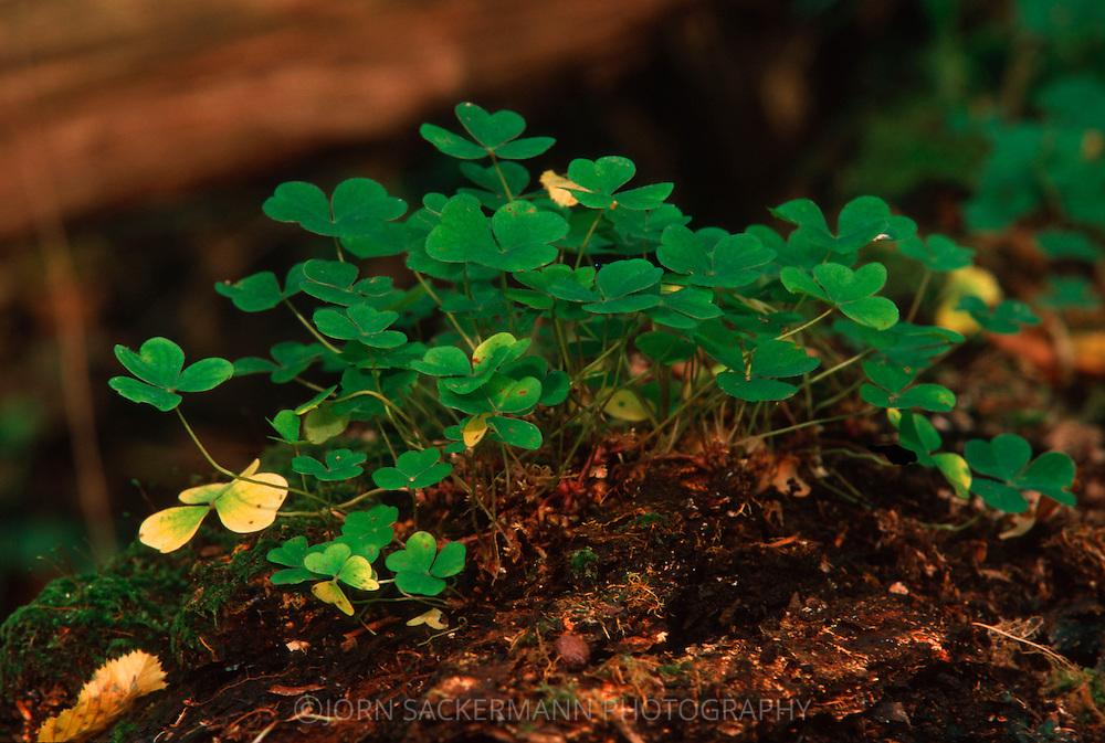 DEU, Germany, wood sorrel  (lat. Oxalis acetosella)....DEU, Deutschland, Sauerklee (lat. Oxalis acetosella)......