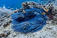 Sea anemone (Actinaria) and clown fish (Amphiprion bicinctus), Nusa Penida island, Bali, Indonesia.