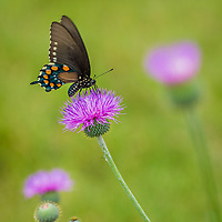 Pipevine Swallowtail, Battus philenor<br />