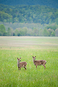 Two White-tailed Does keep a close eye out for coyotes while feeding in the valley at Cades Cove. Townsend,TN