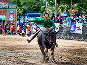 23 OCTOBER 2018 - CHONBURI, CHONBURI, THAILAND: A jockey rides a water buffalo in the races in Chonburi. Contestants race water buffalo about 100 meters down a muddy straight away. The buffalo races in Chonburi first took place in 1912 for Thai King Rama VI. Now the races have evolved into a festival that marks the end of Buddhist Lent and is held on the first full moon of the 11th lunar month (either October or November). Thousands of people come to Chonburi, about 90 minutes from Bangkok, for the races and carnival midway.   PHOTO BY JACK KURTZ