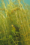 Black Bullhead perch in eurasian water milfoil<br /> <br /> ENGBRETSON UNDERWATER PHOTO