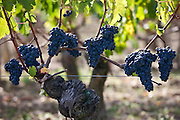Ripe Merlot grapes on ancient vine at famous Chateau Petrus wine estate at Pomerol in Bordeaux region of France