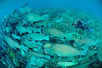 Bumphead parrotfish with diver, Sipadan, Sabah, Malaysia.