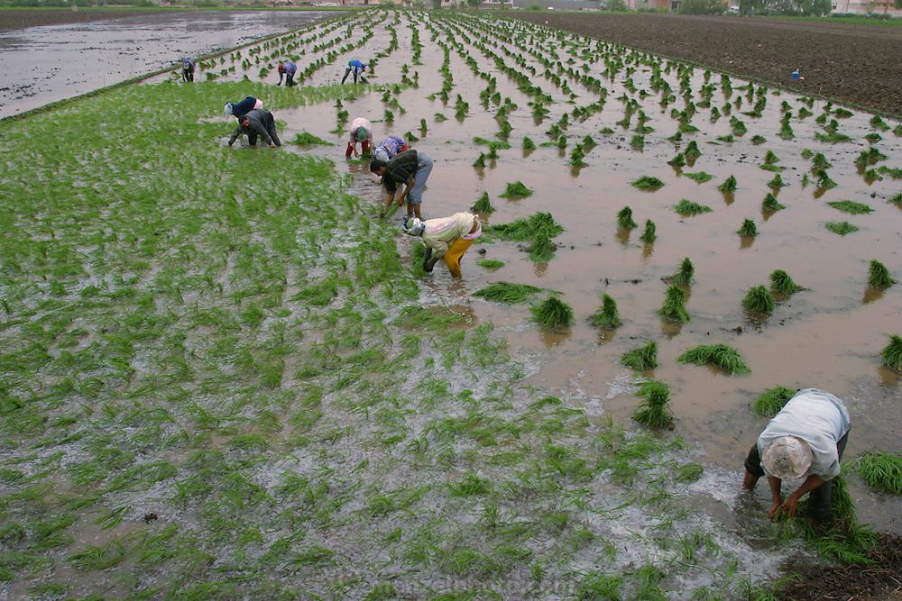 Farmers plant rice near  the city of Alexandria, Egypt.