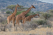 Reticulated giraffs (Giraffa camelopardalis reticulata) in Samburu National Reserve, Kenya.