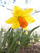 A  single yellow Daffodil with an orange cup backlit by the sun in Central Park, New York City.