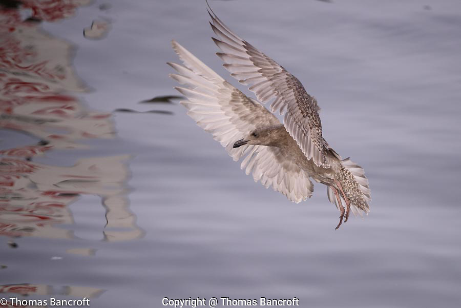 An immature glaucous-winged gull usings its wings to brake in preparation for landing.