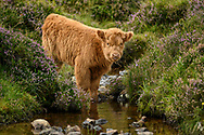 UK, Scotland, Highland, higland calf