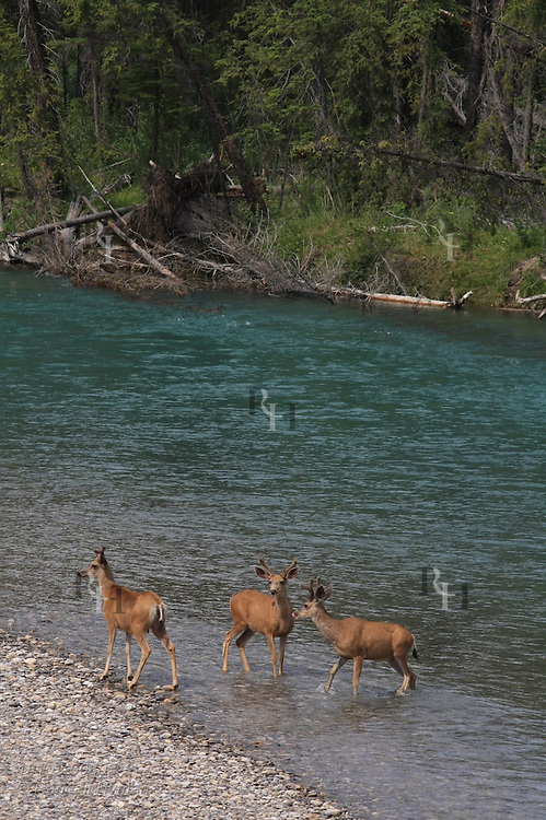 Mule deer bucks (Odocoileus hemionus) pause before swimming across the Bow River in Banff National Park, Alberta, Canada.