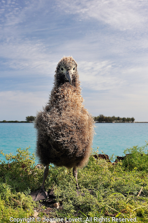 Layson albatross, Phoebastria immutabilis. Midway Island.  Layson albratross chick stands up near bays edge.