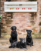 Three black dogs from Houston visit under Ford tailgate