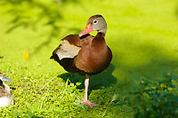 Black-bellied Whistling-Duck (Dendrocygna autumnalis),  Green Cay Nature Centre, Delray Beach, Florida, USA
