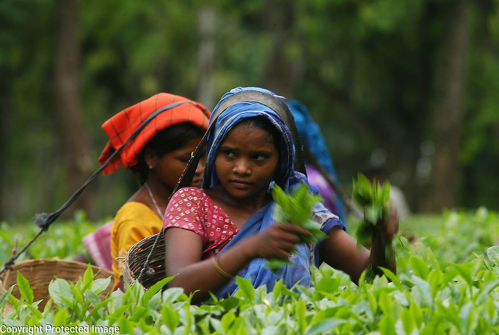 Pix-Tea Garden-2-----Caption : Women tea labourers are plucking tea-leaves from a teagarden of Eastern Indian State Assam. Pix-Shib Shankar Chatterjee...