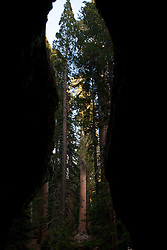 View of forest from inside hollowed out fallen Giant Sequoia tree (Sequoiadendron giganteum), Sequoia National Park, California, United States of America