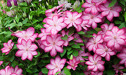 Clematis 'Liberty'. New variety introduced by Thorncroft Clematis, RHS Chelsea Flower Show 2015