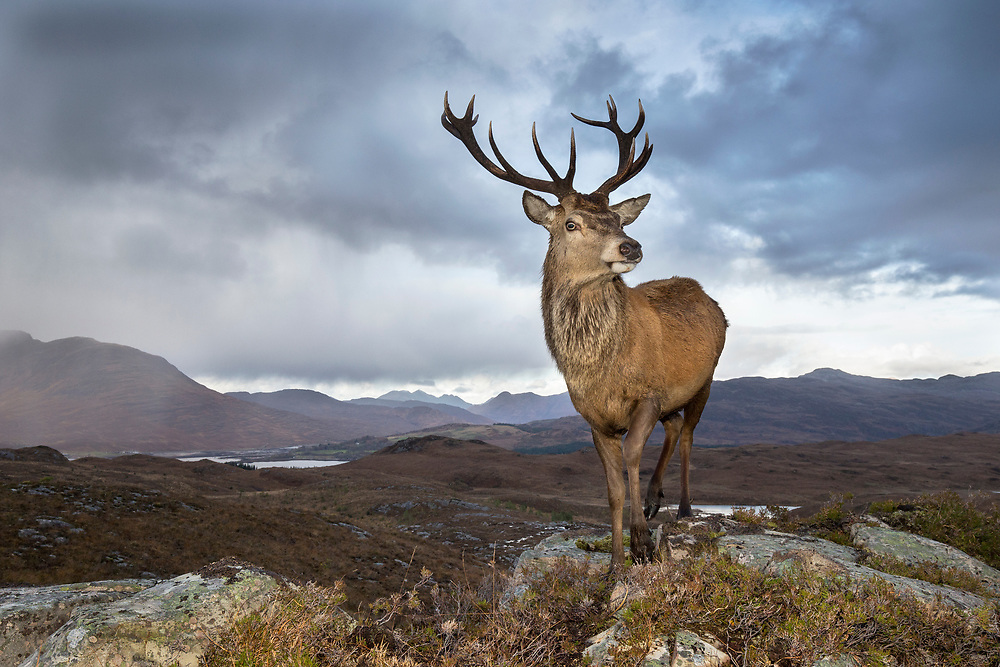 Red deer (Cervus elaphus) stag in west Highland landscape, Lochcarron, Wester Ross, Scotland