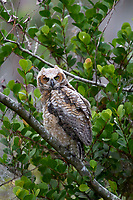 Great Horned Owl Bubo virginianus first day out of nest Arthur R Marshall National Wildlife Reserve Loxahatchee Florida USA