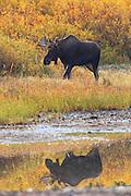 Bull Moose in Glacier National Park.