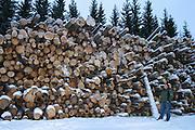 Andelen råttent virke øker. For mye av skogen er overmoden og dør av seg selv, mener Arvid Eriksen i Allskog. Energivirke, går til forbrenning. Forestry in Norway. Skogsdrift i Norge, Trøndelag.