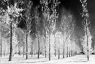 Nederland, Vught, 20140416.<br /> Op het Zorgpark Voorburg van Reinier van Arkel in Vught. <br /> Infrarood foto van bomen die in een patroon zijn opgesteld<br /> Het gras en de bladeren zijn wit gekleurd door het infrarood effect. Het jonge groen bevat veel chlorofyl dat het infrarode licht sterk weerkaatst. En daardoor wit lijkt op de foto.<br /> <br /> Netherlands, Boxtel, 20,140,409. <br /> At the Care Park Voorburg Reinier van Arkel in Vught. <br /> Infrared photo of trees that are arranged in a pattern<br /> The grass and the leaves are colored white by the infrared effect. Young green leaves containerization a lot of chlorophyll That reflects the infrared light strongly. Therefore and appears white in the picture.