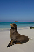 Galapagos sealion (Zalophus californianus wollebaeki) on beach Gardner Bay, Española / Hood Is, Galapagos