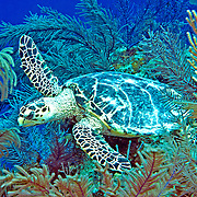 Hawksbill Sea Turtle are most commonly found on coral reefs where 70-95% of their food is sponges, although they also feed on crustations, algae and fish; they are circumtropical; picture taken Little Cayman.