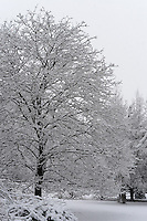 Snow Covered Maple. Backyard Nature in New Jersey. Image taken with a Nikon DF camera and 58 mm f/1.4G lens (ISO 100, 58 mm, f/4, 1/320 sec).