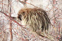 A North American Porcupine rets in a Russian olive tree out of the snow and away from predators.