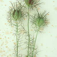 Green and puffy seedhead and spiky foliage of Love-in-a-mist or Nigella flower lying on antique paper
