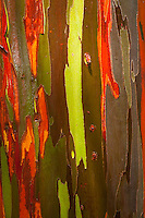 Eucalyptus deglupta, Rainbow Eucalyptus, detail, peeling bark reveals color