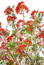 Royal Poinciana Tree Delonix Regia #20