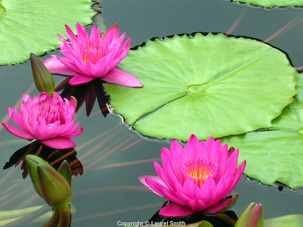 Three pink water lilies in a lily pond in the midwest.