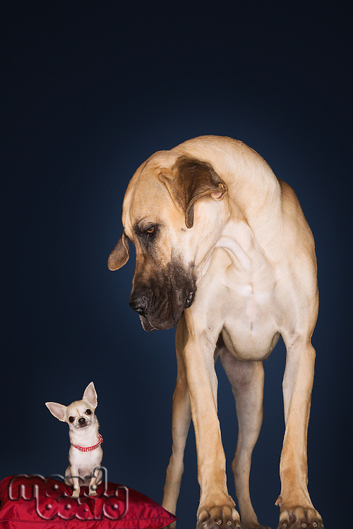 Chihuahua sitting on red pillow Great Dane standing alongside front view