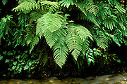 Detail of ferns above Howe Creek in Fern Canyon, Prairie Creek Redwoods State Park, California.