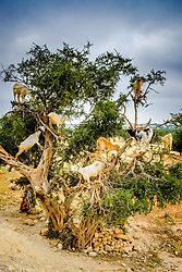 Goats climbing in Argon trees on the road to Essaouira, Morocco, North Africa<br /> <br /> (c) Andrew Wilson | Edinburgh Elite media