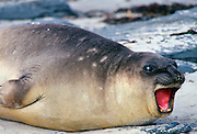Young elephant seal,  Sea Lion Island, Falklands Isles, South Atlantic