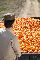 Farmer looking at oranges in trailer back view