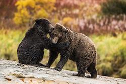 Grizzly bear (Ursus arctos) juveniles playing in Katmai, Alaska, USA