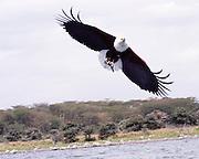 Kenya, lake naivasha, Kenya, African Fish Eagle, Haliaeetus vocifer grasps a fish in its talons