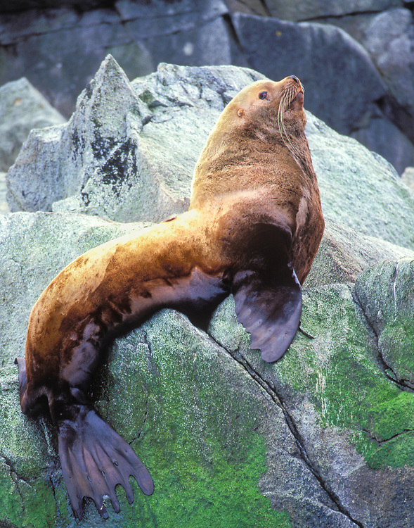 A bull sea lion regally poses for a photograph on a large coastal rock while he watches the photographers go crazy.