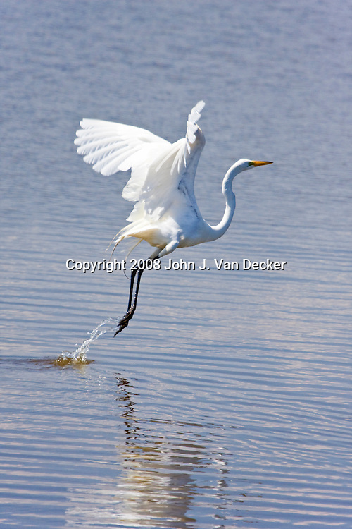 Great Egret, Ardea alba, taking off from a salt marsh