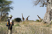 Tanzania wildlife safari A tourist watching a herd of giraffes