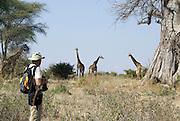 Tanzania wildlife safari A tourist watching a herd of giraffes