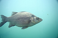 White Bass, Underwater