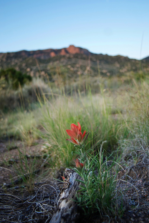the indian paintbrush wildflower blooms in late spring and throughout summer in the sandia mountains, albuquerque new mexico