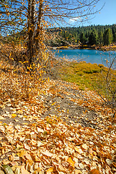 """Coldstream Pond in Autumn 5"" - Photograph of yellow leaves that had fallen near Coldstream Pond in Truckee, California."