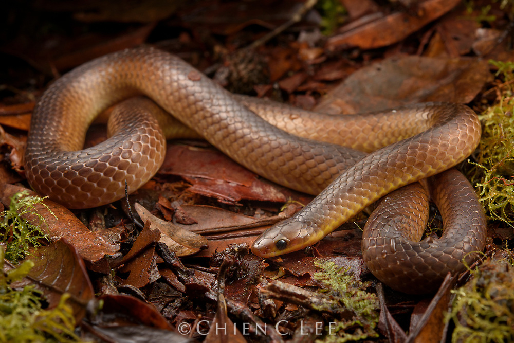 The rare Forsten's Pointed Snake (Rabdion forsteni) is endemic to Sulawesi and known from only a few specimens. South Sulawesi, Indonesia.