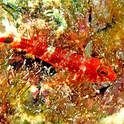 Matador Triplefin inhabit shallow patch reefs, perching in the open on sponges and coral rock with algae; picture taken Utila, Honduras.